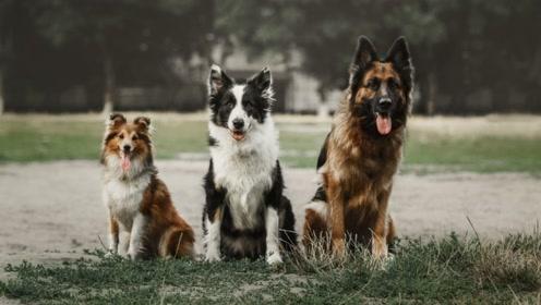 世界上最聪明的狗狗:第一名实至名归,你的狗狗上榜了吗?