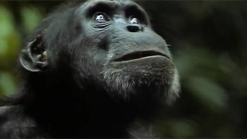 大猩猩凶残捕食红毛猴,手段极其狠毒,分尸的模样让人不寒而栗
