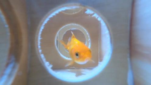 听说鱼的记忆只有七秒?老外将鱼放进迷宫,结果搞笑了!