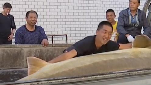 黑龙江捕获了最大的淡水鱼,重达千斤,镜头记录下全过程
