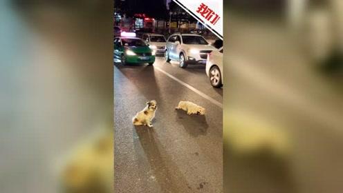 """泪目!流浪狗见""""伙伴""""遭遇车祸倒路上 守一旁又舔又叫场面感人"""
