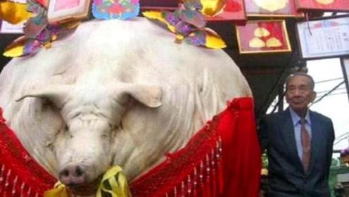 """河北老农花11年,养出""""亚洲猪王"""",打破美国记录重1688斤"""