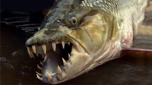最凶悍的淡水鱼,连鳄鱼都不放眼里,光长相就让人害怕!
