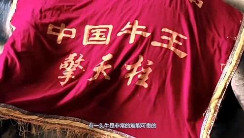 """中国一代牛王""""擎天柱""""走了,主人痛哭流泪,网友:惋惜 !"""