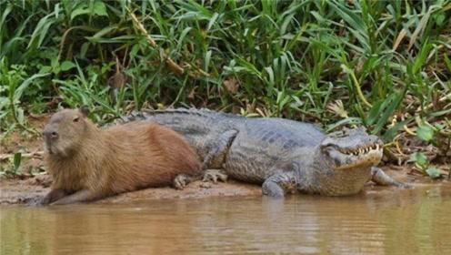 """自然界最擅长""""社交""""动物:几乎没有天敌,连鳄鱼都和它愉快相处"""