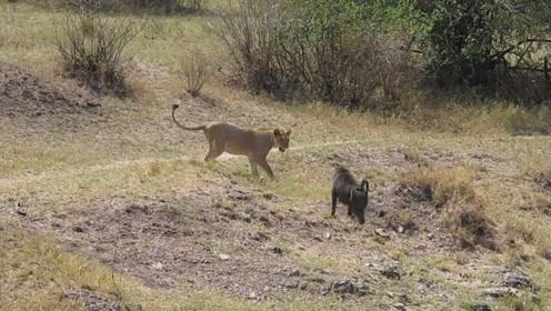 狒狒怒打狮子,一巴掌下去直接打脸,狮子:大哥,我错了