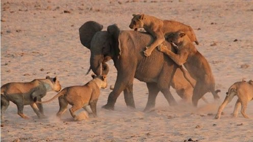 十几只狮子穷追不舍一头大象!立刻围攻起来,结局却让人意想不到