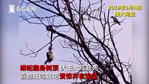 救兵来了!蟒蛇树顶伏击大鸟,遭喜鹊狂驱弃食逃走