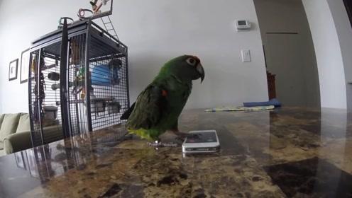 鹦鹉帮主人接电话,一开口商业范十足,网友这样说
