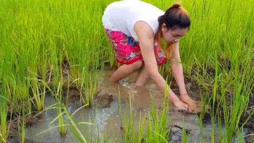 自家稻田里的鱼长大了,农村女孩下田抓鱼,看看她抓了什么鱼?