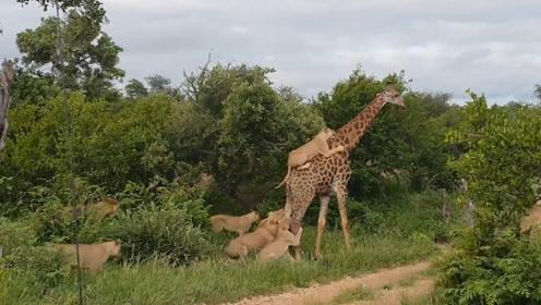 面对一群狮子围攻,长颈鹿来一只踢一只,这技术能当守门员了