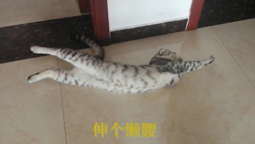 小猫一大早起床,伸懒腰打哈欠,满脑子想的都是吃,猫:好饿呀