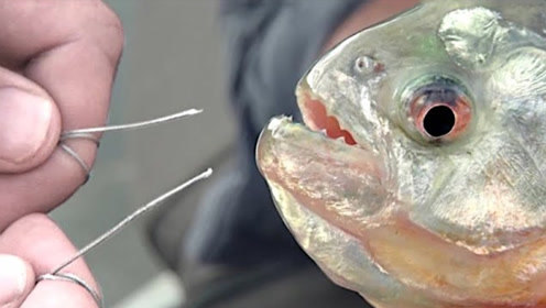 食人鱼的牙齿有多锋利?牛人拿铁丝测试,结果意外发生!
