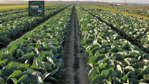 绿油油的卷心菜生长过程,记录从种植长到收获的整个过程!