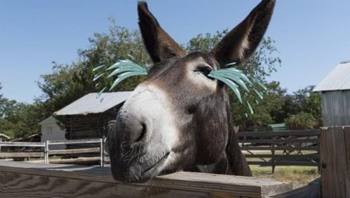 看看马和驴干的好事!导致骡子不孕不育,涨知识了