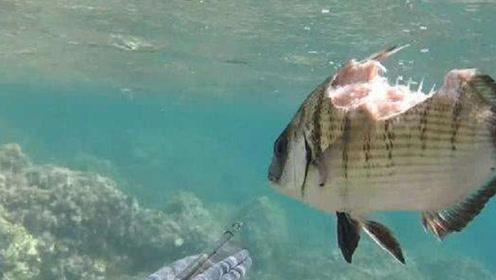 世界上最坚强的鱼,半个身子都没了,还这么努力