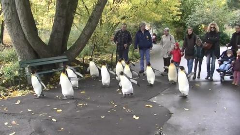 一群企鹅逛公园,排着队迈着小短腿,场面搞笑又有趣