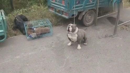 奶奶养不起这只狗了,带到城里让我养,我又没时间只能这样做了!