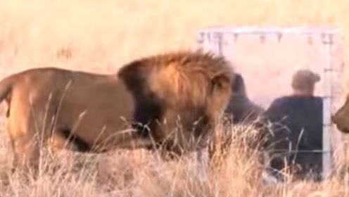 """老外躲在玻璃箱里""""挑衅""""狮子,镜头纪录全程,不愧是森林之王"""