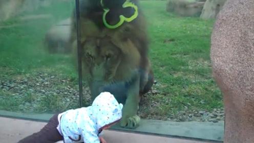 狮子兽性大发偷袭宝宝,不料宝宝突然回头,狮子反应是我一年笑点