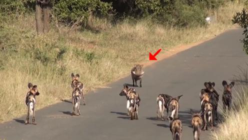 这只猪被10多只野狗拦住去路,英勇的它不退反进,画面太意外!