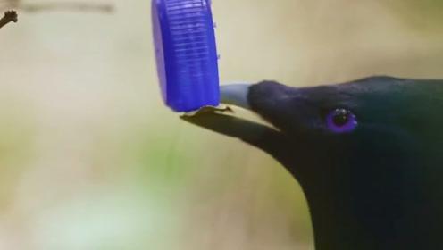 为了吸引雌鸟,雄鸟搭建了求偶亭,没想到一激动却把雌鸟吓跑了