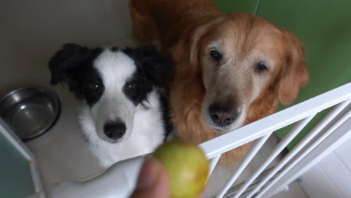 主人在吃青枣,给家里的两只狗狗馋坏了