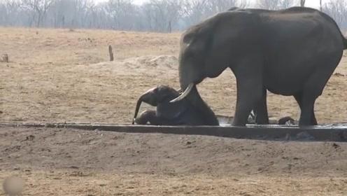 小象被困在地缝里,族群都已经放弃了,象妈妈还在奋力解救小象