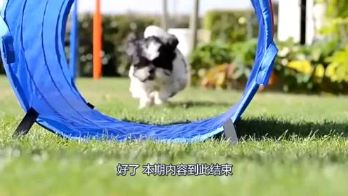 宠物袖珍狗狗你们见过吗,只有巴掌的大小