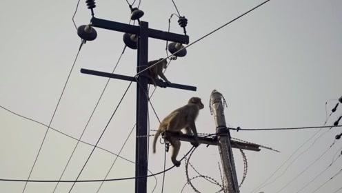 猴子爬上了高压线上,瞬间被烧成火猴,镜头记录全过程