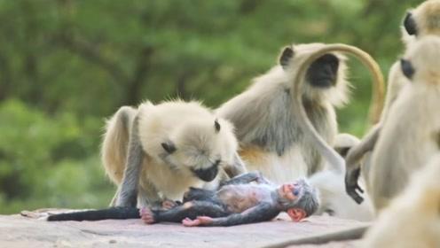 将玩具猴扔进猴群,猴子们却以为它死了,还为它举办集体哀悼会