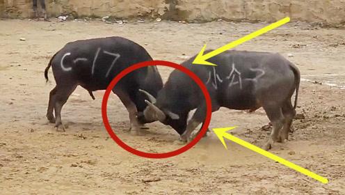 两牛相撞如一声雷响,一只直接被打怕了,下一秒看呆众人!