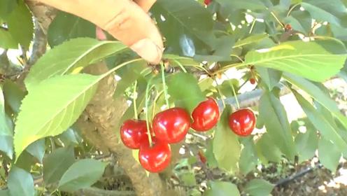 它的钙含量是水果之首,不仅抗寒还抗旱,全靠人工种植