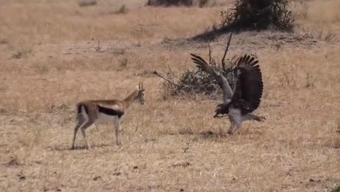 这老鹰是不是膨胀了,胆敢去捕食羚羊,镜头记录全过程