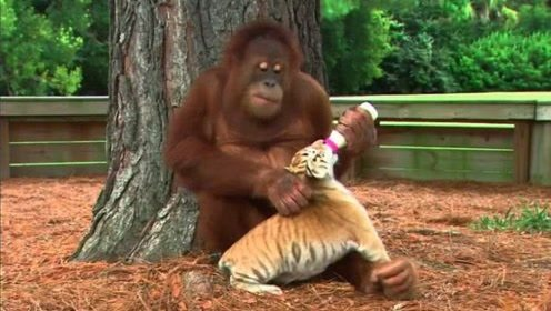 小老虎出生就没了妈妈,和猩猩共处一室,画面太有爱了!