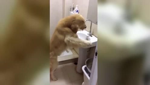 金毛遛弯回来感觉口渴,竟然自己开打水管喝水