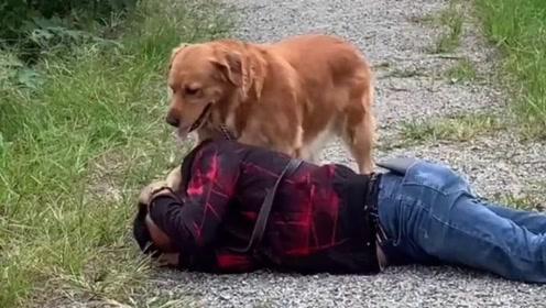 主人晕倒了,接下来金毛豆豆的做法令人感动,网友:狗狗真懂事