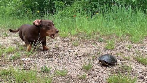 憨憨腊肠犬偶遇乌龟 谨慎又滑稽举动令人捧腹