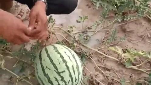 自己家瓜田种的西瓜,现摘一个用刀打开,结果让我太满意了!