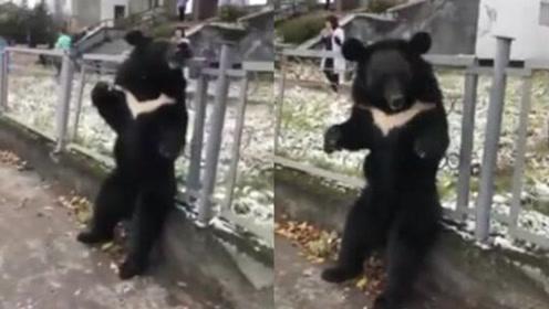 残忍 黑熊被拴在马戏团广告旁围栏上嚎啕大哭