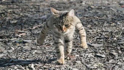 猫咪从小被狗子欺负,去动物园看了一眼老虎后,气势都变了!