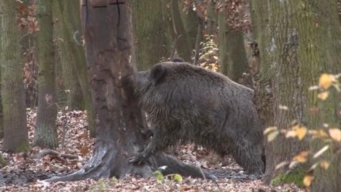 男子在树上涂上一物,隔天来看,树下野猪成片瘫倒!