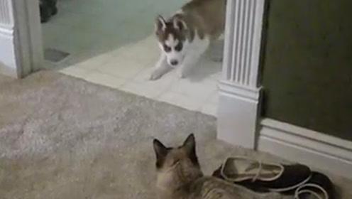 二哈在猫咪面前上蹿下跳,猫咪淡定看了半天:果然是个傻子!