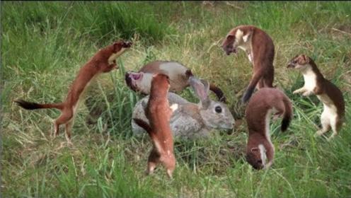 黄鼠狼有多邪门?老外拍下它捕猎过程,看完无法淡定
