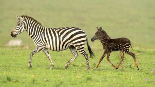 【每日药闻】一只罕见的斑点斑马宝宝