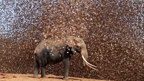几十万只麻雀群殴大象,起飞的一刹那,简直让人后背发凉!