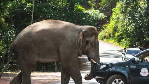 大象正悠哉悠哉的过马路,司机作死对大象鸣笛,大象的反应司机懵了