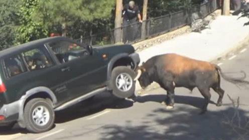 一头公牛马路上突然发狂,汽车水箱都被顶爆了,里面的人还好吗?