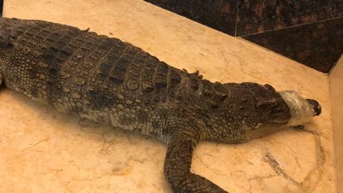 胆战心惊!1.2米泰国鳄鱼溜进市民家,被捕后尝试挣脱,十分生猛