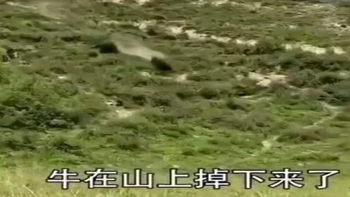 牛从山上滚落下来,看着让人揪心,希望牛没事!